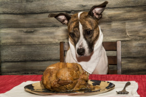 Dog starring at turkey feast on a dinner plate.